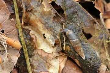 Schließmundschnecke (Clausiliidae) auf Herbstlaub