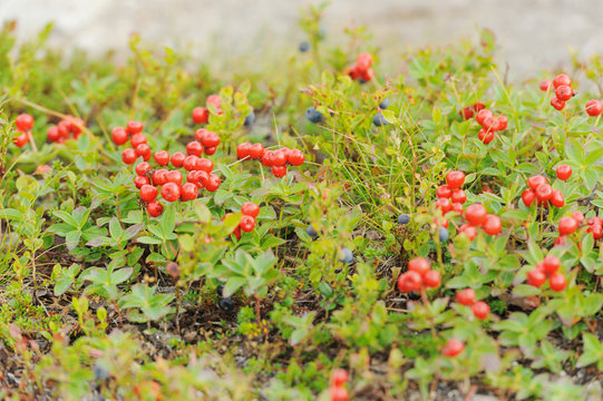 Red forest berries in the tundra in autumn colors on the moss background. Tundra.