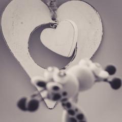 A white heart for two giraffes