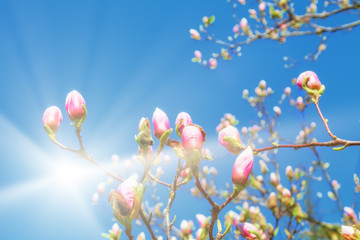 Magnolie im Sonnenschein