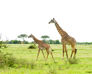 "herd of Masai Giraffe (Giraffa camelopardalis tippelskirchi or ""Twiga"" in Swaheli) image taken on Safari located in the Serengeti National park,Tanzania"