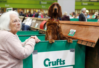 An Irish Setter looks over its bench during the final day of the Crufts Dog Show in Birmingham