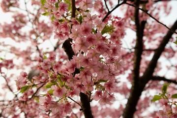 Japan Sakura Kawazu-zakura Cherry blossom