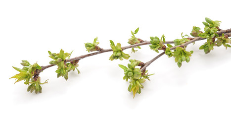 Branch of cherries with buds.