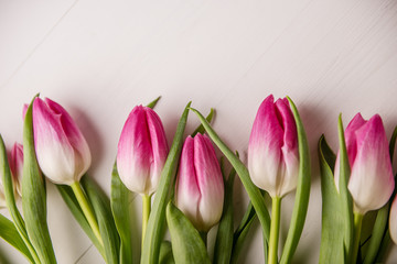 Acrylic Prints Tulip pink tulips on white background spring easter mother´s day, international woman´s day, oth of march concept