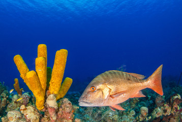 A mutton snapper can be seen swimming throughout its natural habitat on the tropical caribbean reef. This fish is suited to the warm water and can be seen clearly due to the clenliness of the water