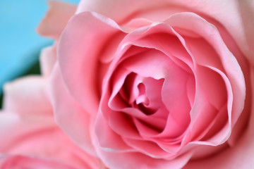 Close up of a beautiful varietal pink rose