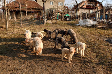Dogs lagotto romagnolo