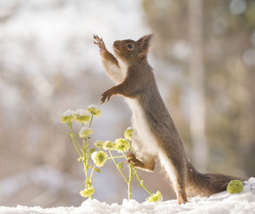 red squirrel with flowers reaching out