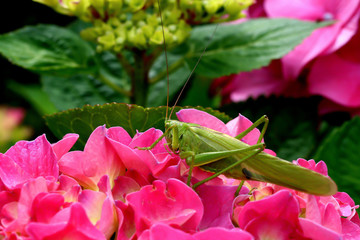 green grasshopper on red pink hydrangea flowers bush in colorful summer garden from near closeup. pink flower background of blooming hydrangeas