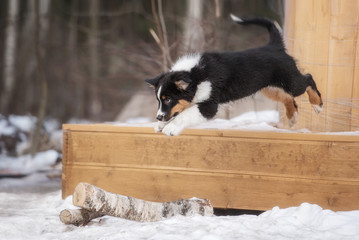 Australian shepherd puppy playing in the yard in winter