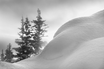 Tall pine trees in mist with snow bank, black and white