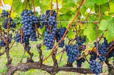 Plantação de uvas.