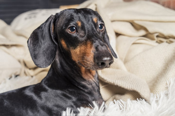 portrait of dog breed of dachshund, black and tan, in bed getting ready for sleep