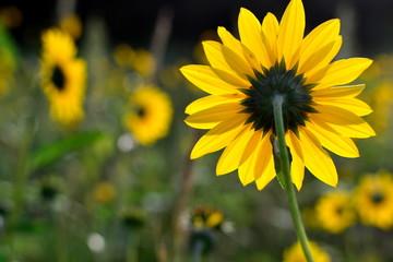 sunflower, backside, frontlit, Helianthus annus