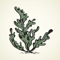 Seaweed. Vector drawing