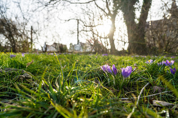crocus flower on a meadow at a sunny spring day