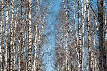 Birch forest with bald branches without leaves in the Russian winter forest on a sunny day amidst a clear blue sky.