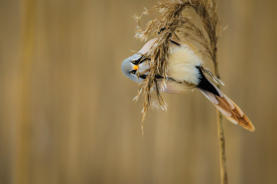 Bearded reedling hanging on a reed straw