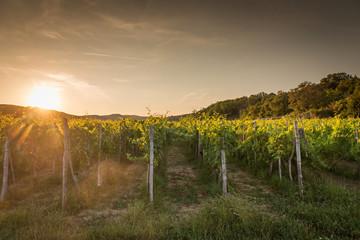 Landscape of vineyard, nature background