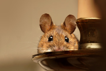 Wood mouse (Apodemus sylvaticus) resting on a chandelier.