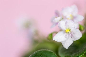 Delicate flowers of violets. Flowers of saintpolia. Аfrican violet