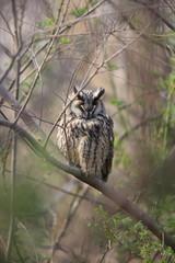 Long-eared Owl (Asio otus) in Japan