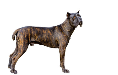 Cane Corso on white.  The Cane Corso on the white background