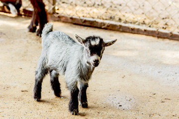 Goat baby in the stall farm thailand.