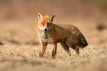 Fox (Vulpes vulpes)