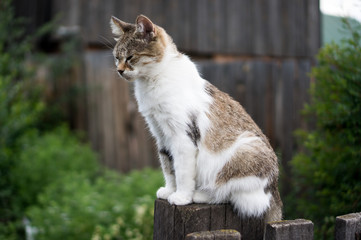 The cat sneaks or walks by the fence in the village in summer