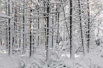 A snow covered forest in Maine.