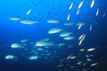 Trevally (Jack) fish hunt sardines