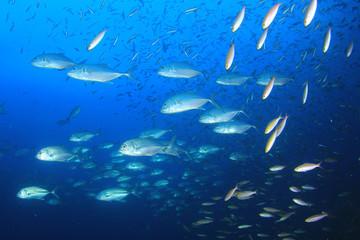 Trevally (Jack) fish hunt sardines