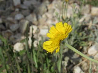 Side Yellow WIldflower on Grassy Pebble Desert Blur Background