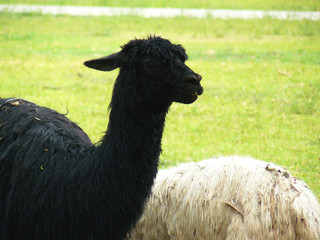 Black Alpaca on grass