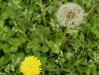 Dandelion seed head ready to burst open
