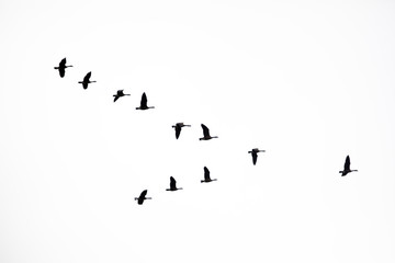 Flock of Canada Geese Following the Leader