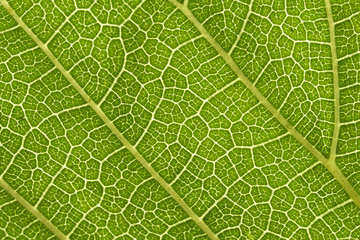 Mulberry leaves are detailed. Use as a design background.