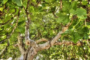 Fig tree in vegetation