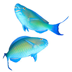 Parrotfish fish isolated on white background