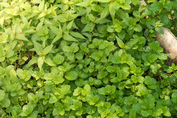 Fresh mint leaves in the organic garden