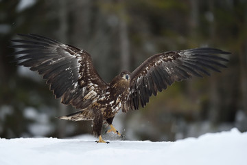 White tailed eagle walking on snow wings wide open