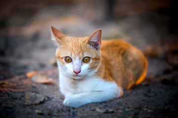 Close up Beautiful Orange Cat