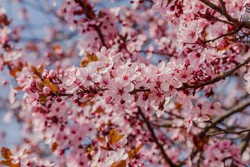 Viele schöne Blüten von der japanische Kirschblüte bei schönem sonnigen Wetter