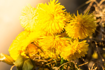 Yellow chrysanthemums flowers for your background.