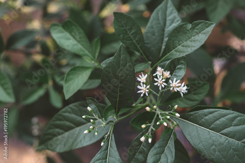 Small White Flowers On Tree With Dark Green Leaves Background Toned