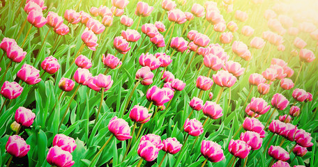 Spring Nature Wallpaper of pink Tulips Flowers