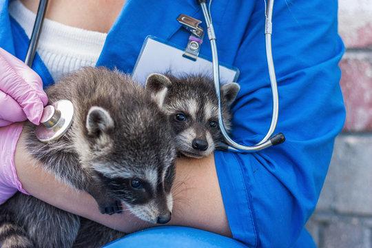 Vet examines raccoon stethoscope 1