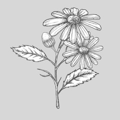 Ink chamomile herbal illustration. Hand drawn botanical sketch style. Absolutely vector